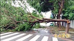 中市行道樹風倒 黑板樹、印度紫檀逾半