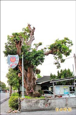 百年芒果樹斷臂 三條派出所照護