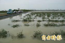 台南鹽水小番茄專區淹慘 農民怒求償