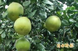 「藥」注意 服抗凝血劑別吃白柚