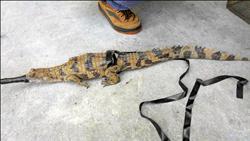 鱷魚迷途排水溝 天馬牧場挨罰