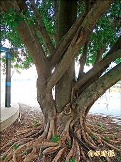 椰榕共生 樹中樹水里奇觀