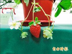 以蟲治蟲 農委會推無農藥草莓