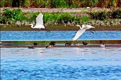遲到半月 候鳥先頭部隊抵高屏溪