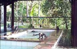 知本遊樂區溫泉泡腳池 變猴澡堂