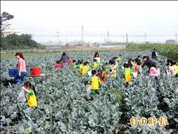 花椰菜價跌 農民開放幼童採