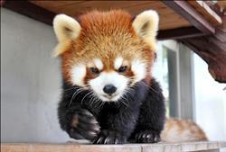 小熊貓の24小時流浪記