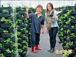 草莓住「帝寶」 產量是土栽20倍