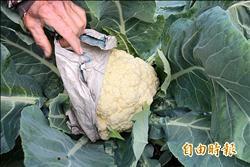 花椰菜蓋不織布 長得白白胖胖