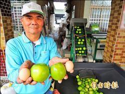 珍寶棗王上市 12兩狀如青蘋