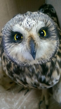 保育類短耳鴞折翼 大眼萌樣消防弟兄都融化