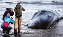 5頭抹香鯨 荷蘭擱淺