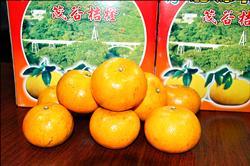 果皮醜果肉甜 東河茂谷柑上市