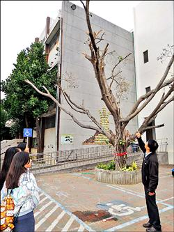 榕樹被修剪 枝幹滴水「落淚」