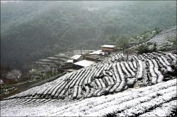 白雪蓋茶園 茶農憂春茶銳減