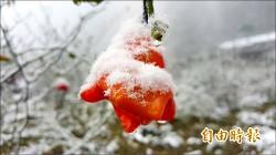 超級寒流 凍壞高冷蔬果