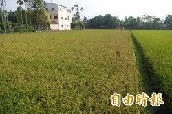 水稻、芒果也有保險 今年內陸續開賣