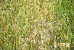 下月才要採收 外埔小麥被鳥收割逾半