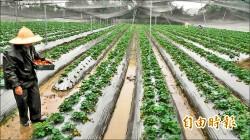 下雨搶救草莓 關西莓農忙採收