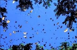 紫斑蝶遷徙 鯉魚社區就看得到