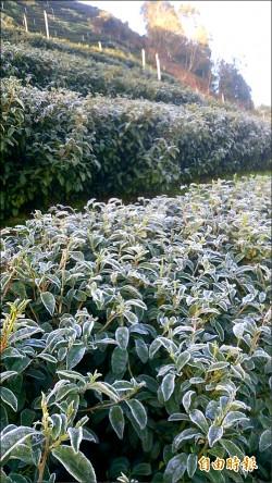 霜凍難結果 梨山桃、李、柿受重創