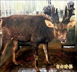 高雄養水鹿1300頭 鹿茸預約現採