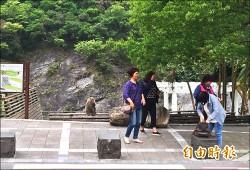 嚇壞遊客 天祥獼猴超商前搶食物