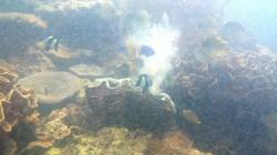 硨磲貝噴精、卵 熱帶魚好奇圍觀被噴飛