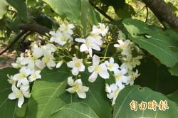 客家桐花祭23日揭幕 下週起最佳賞花期