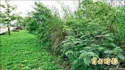 外來樹種銀合歡成林 河濱公園憂毒害