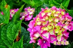 驚豔一夏 竹子湖繡球花開採