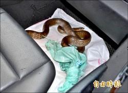 驚!國道開車蛇纏腳 美女議員掐蛇頭40分鐘