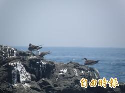 夏季遊澎湖 燕鷗翩翩飛舞好壯觀