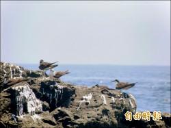 燕鷗繁殖季 澎湖無人島熱情一夏
