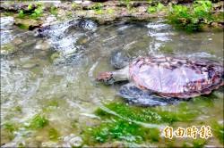 遭流刺網纏住 綠蠵龜「潮境」野放