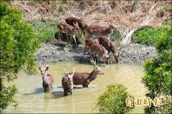 墾丁「鹿」滿為患 學者建議開放狩獵