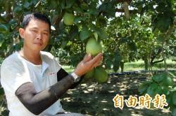 不是頭殼壞去! 麻豆青農李明彥堅持無毒種出好柚