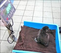 首度人工孵化 黑腳企鵝43將滿月