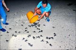 143綠蠵龜孵化 太平島駐軍摸黑搶救