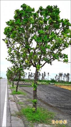 樹之強者 抗風第一名瓊崖海棠
