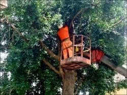 樹幹腐蝕 百年竹柏動手術