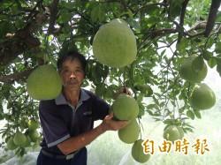 冬山文旦減產40%  新柚採收上市