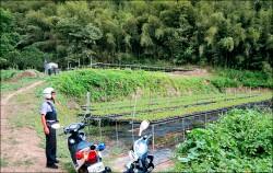 草莓苗價飆高 大湖「警」急防竊