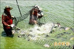 台灣鯛滯銷價跌 養殖漁民求助