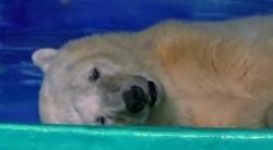 有了「最悲傷北極熊」還不夠 廣州商場還要養熊貓白虎