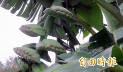 南投農產轉型升級 集集山蕉打頭陣