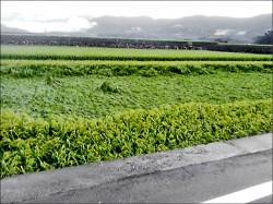 700公頃水稻受災 災情恐擴大