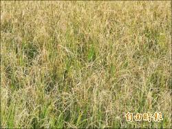梅姬重創二期稻 農泣倒貼割稻工