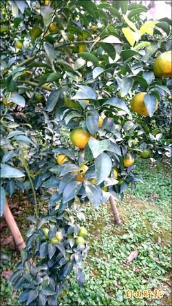 「砂糖橘」認養 農民募款重建溫室
