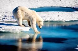 南北極海冰創新低 北極熊恐銳減3成